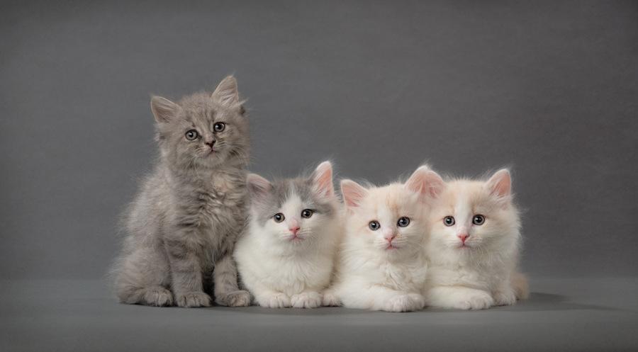 four-longhaired-kittens-studio=cat-photography-kitten-pics-grey-background