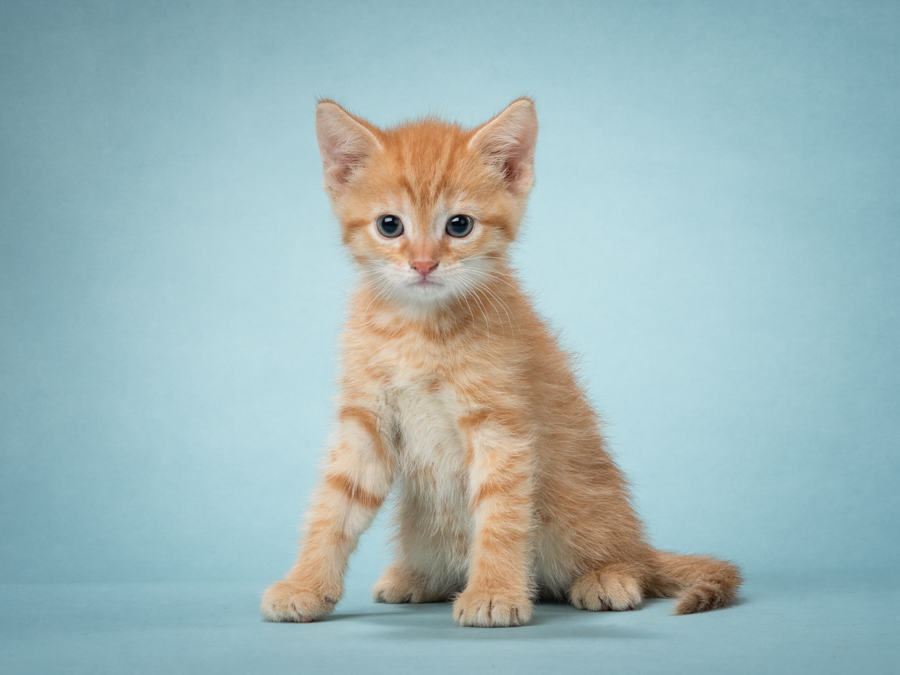 studio-cat-photography-orange-tabby-kitten