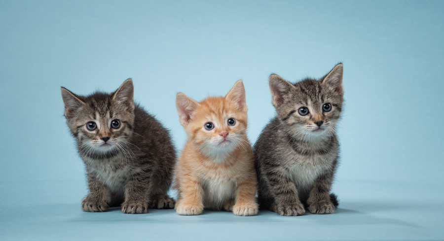 three-tabby-kittens-studio-blue-background