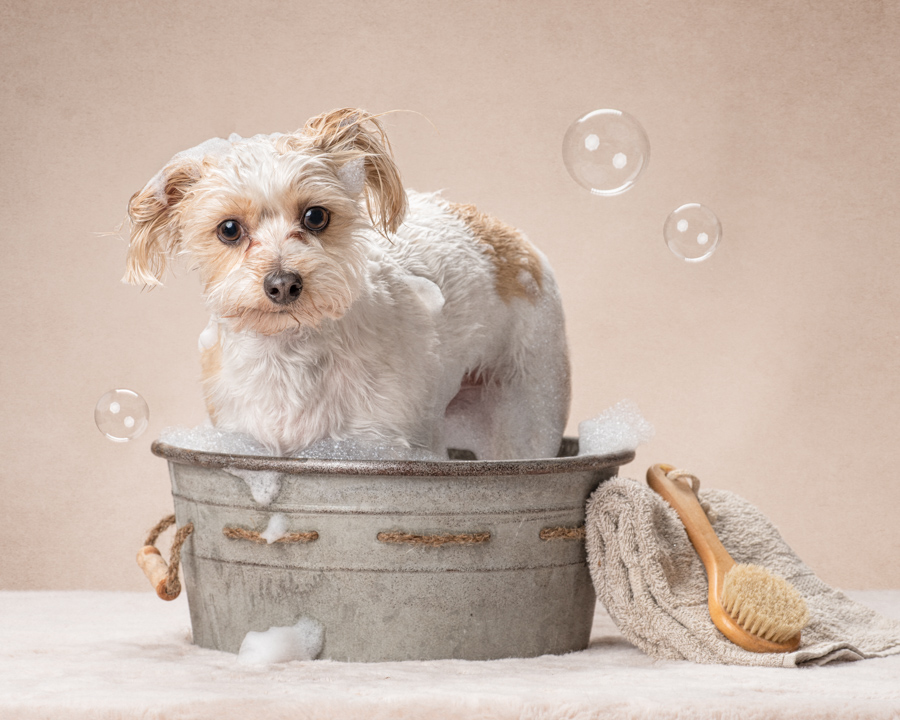 small-white-dog-bath-studio-pet-photograpger-dc