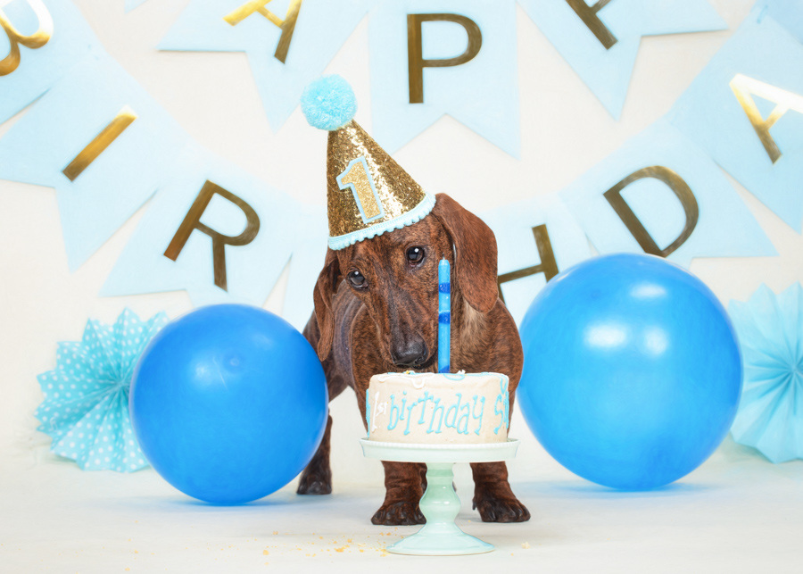 va-pet-photographer-dacshund-puppy-studio-dog-cake-smash-4851.jpg