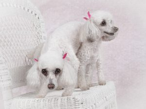 studio-dog-photography-blooper-two-white-poodles