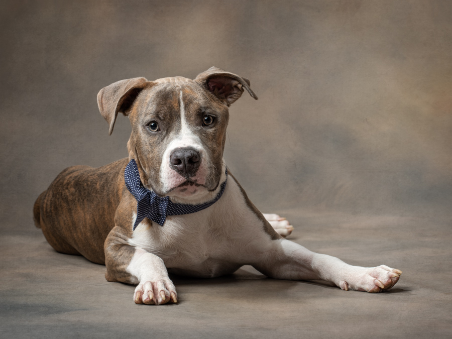 studio-dog-portrait-pitbull-artful-paws