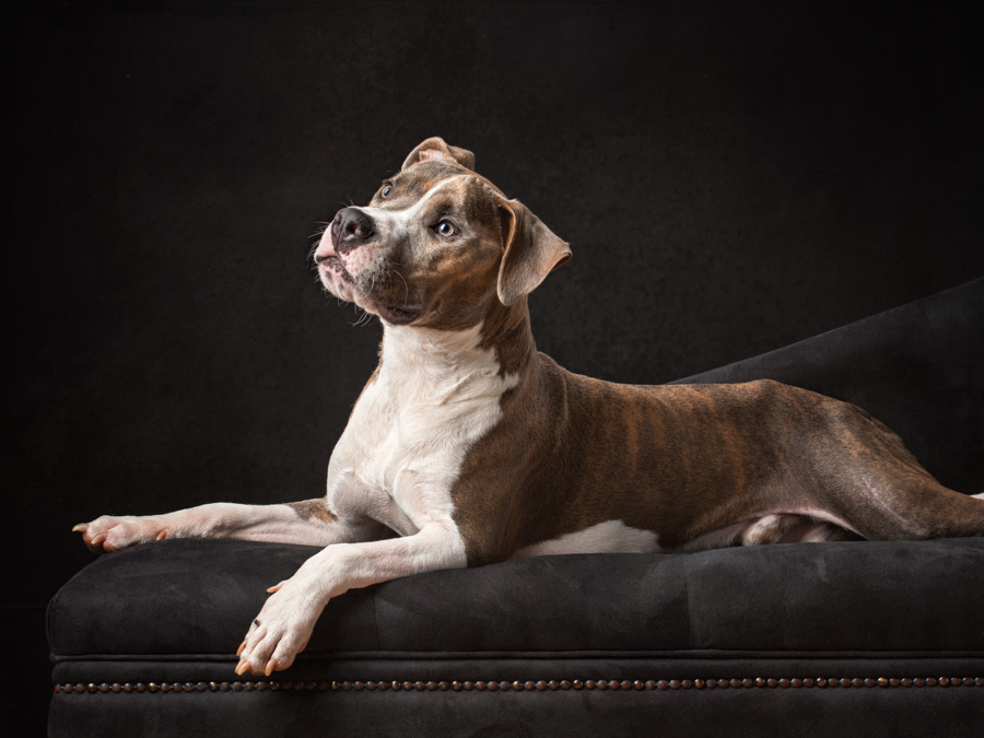 shelter-rescue-pitbull-finnegan-studio-dog-photography-artful-paws-6685.jpg