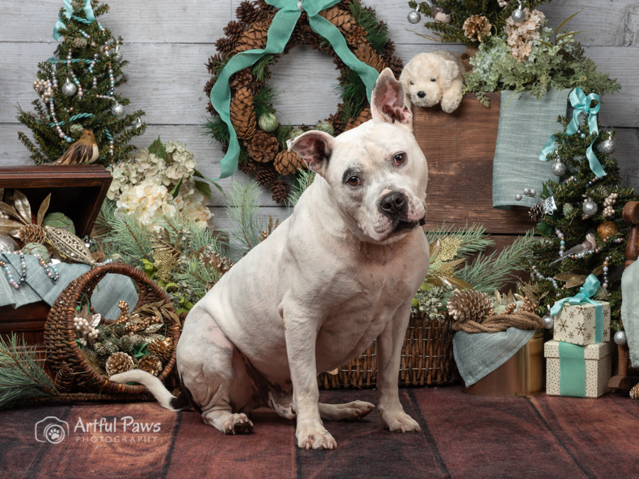 american-bulldog-pitbull-holiday-studio-christmas