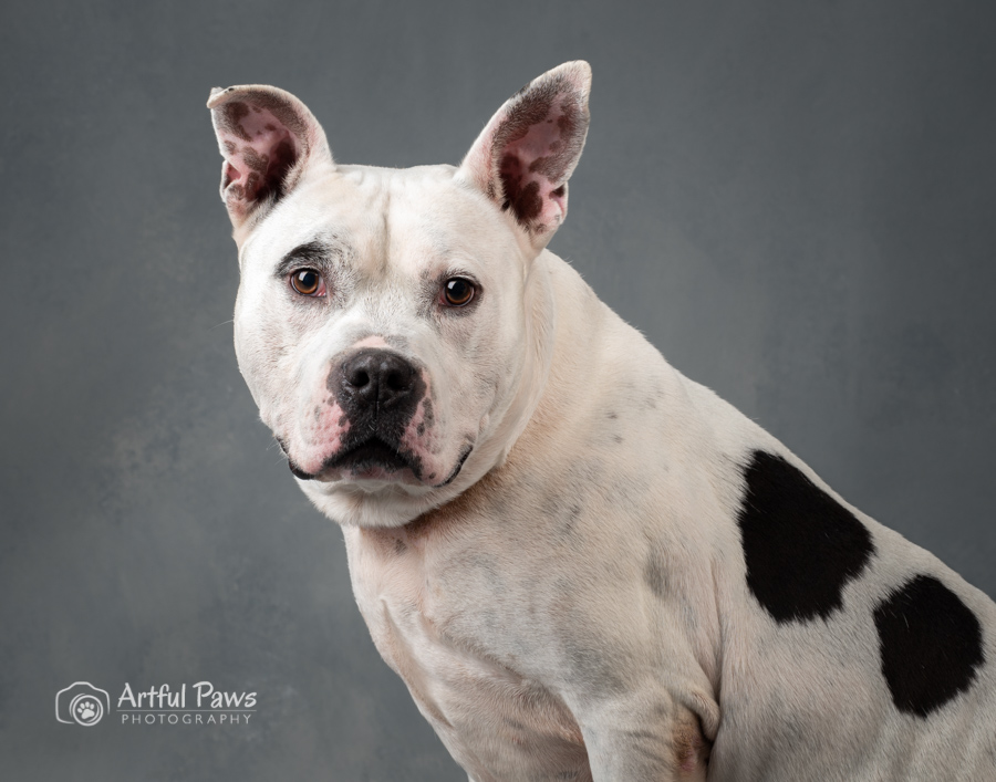 black-and-white-dog-photography-studio-pitbull