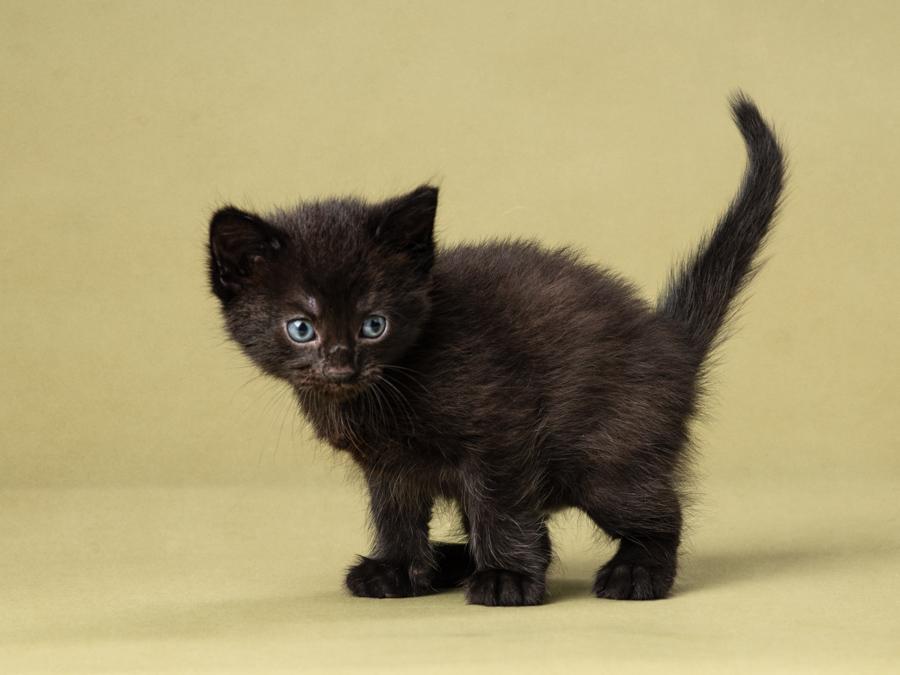 studio-kitten-photography-black-kitten
