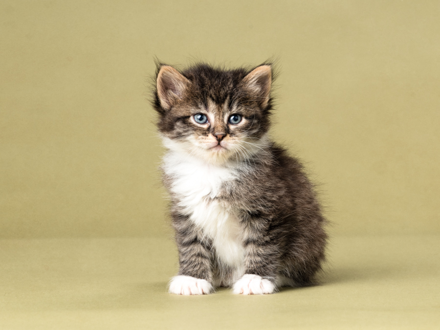 studio-kitten-photography-tabby