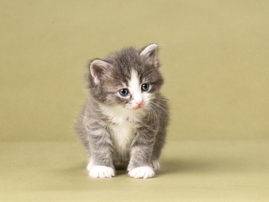 studio-kitten-photography-grey-tabby