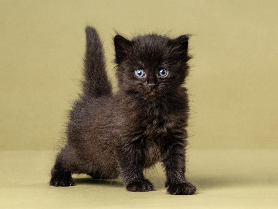 black-kitten-photography-studio-long-haired