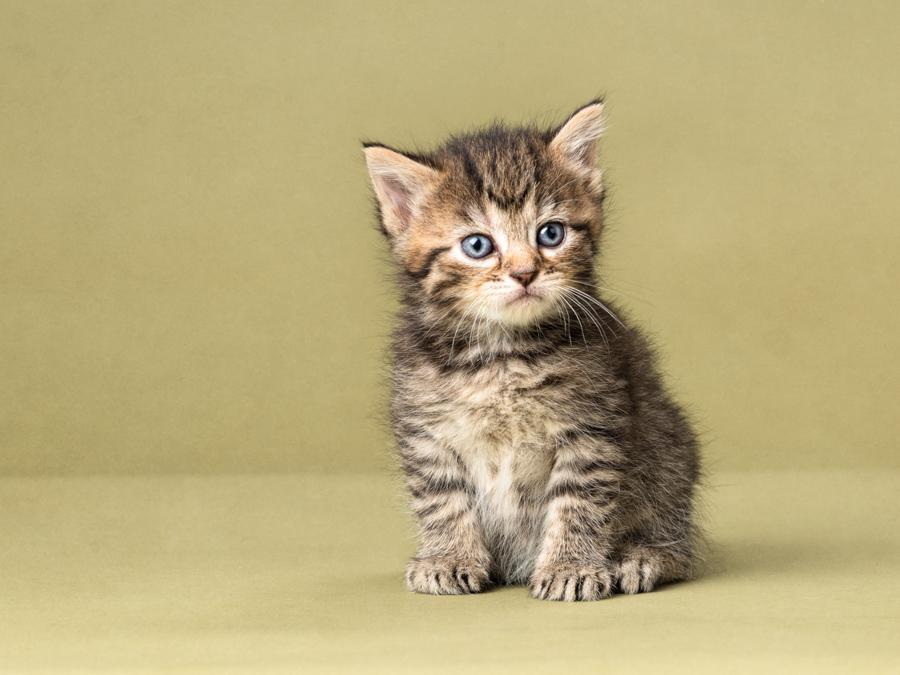 grey-tabby-kitten-studio-photograph