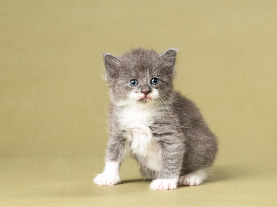 four week old grey and white tabby kitten in photo studio