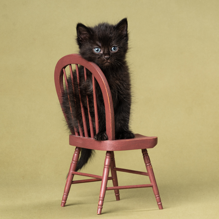 black kitten on doll chair studio kitten photography