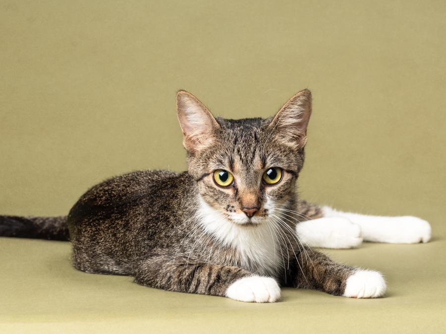 grey-white-tabby-cat-studio-kitten-photography
