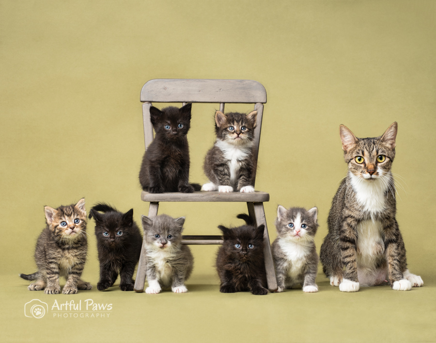 studio-cat-photography-mother-tabby-cat-seven-kittens