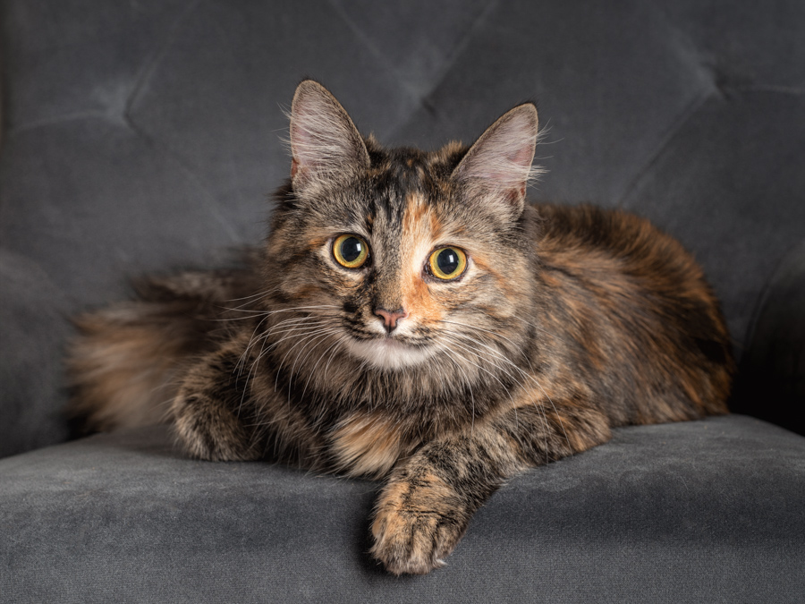 studio-cat-photography-long-haired-cat-chair