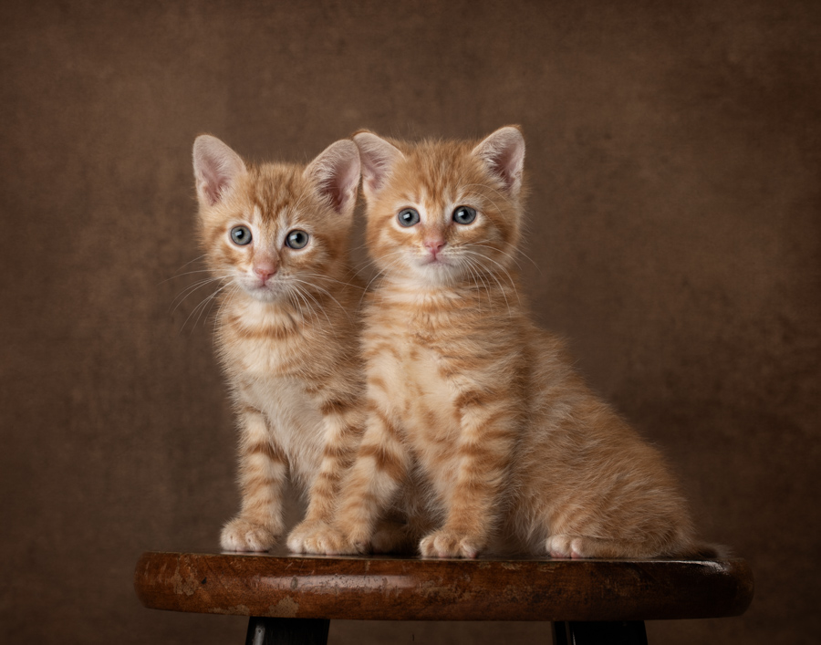 orange-tabby-kittens-sitting-stool-brown-background-profession;-studio-shelter-photography