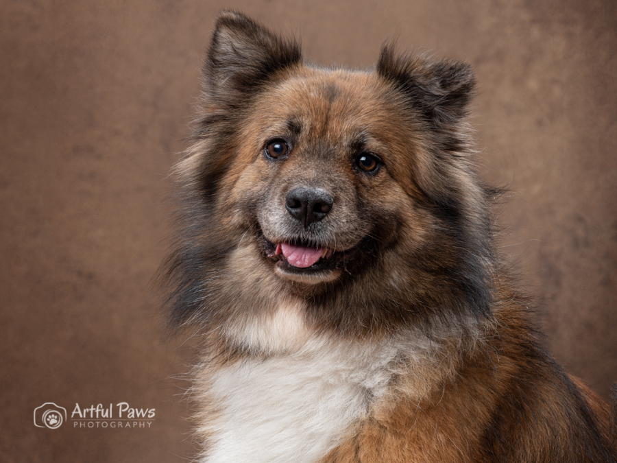 studio-dog-photography-fluffy-dog-brown-background