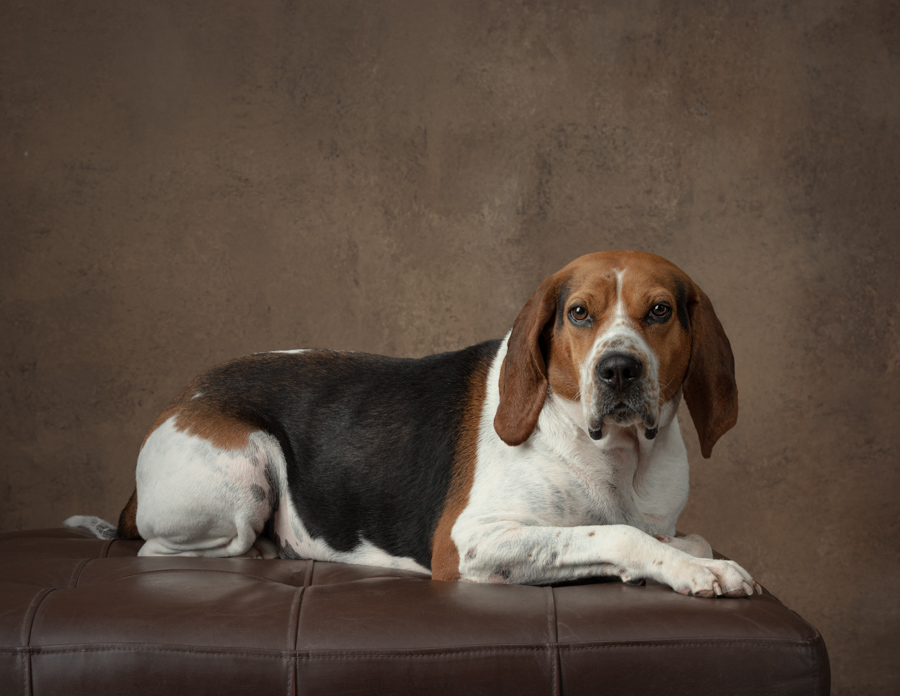 coonhound-studio-dog-photograph