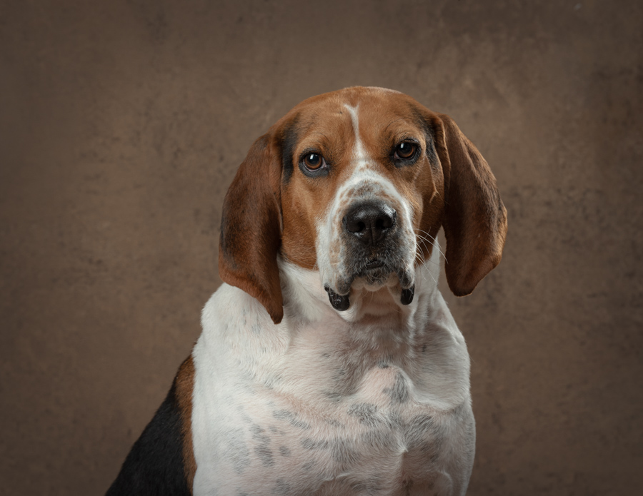 fairfax-va-shelter-hound-rescue-studio-dog-photographer-4761.jpg