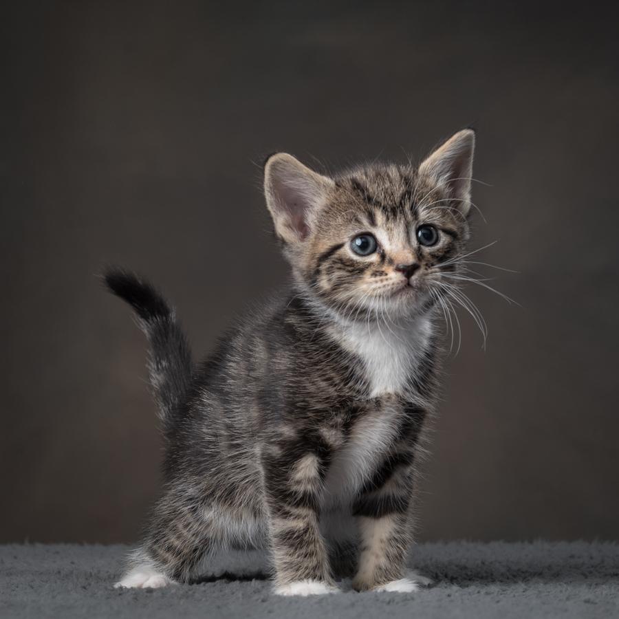 tabby-kitten-standing-studio