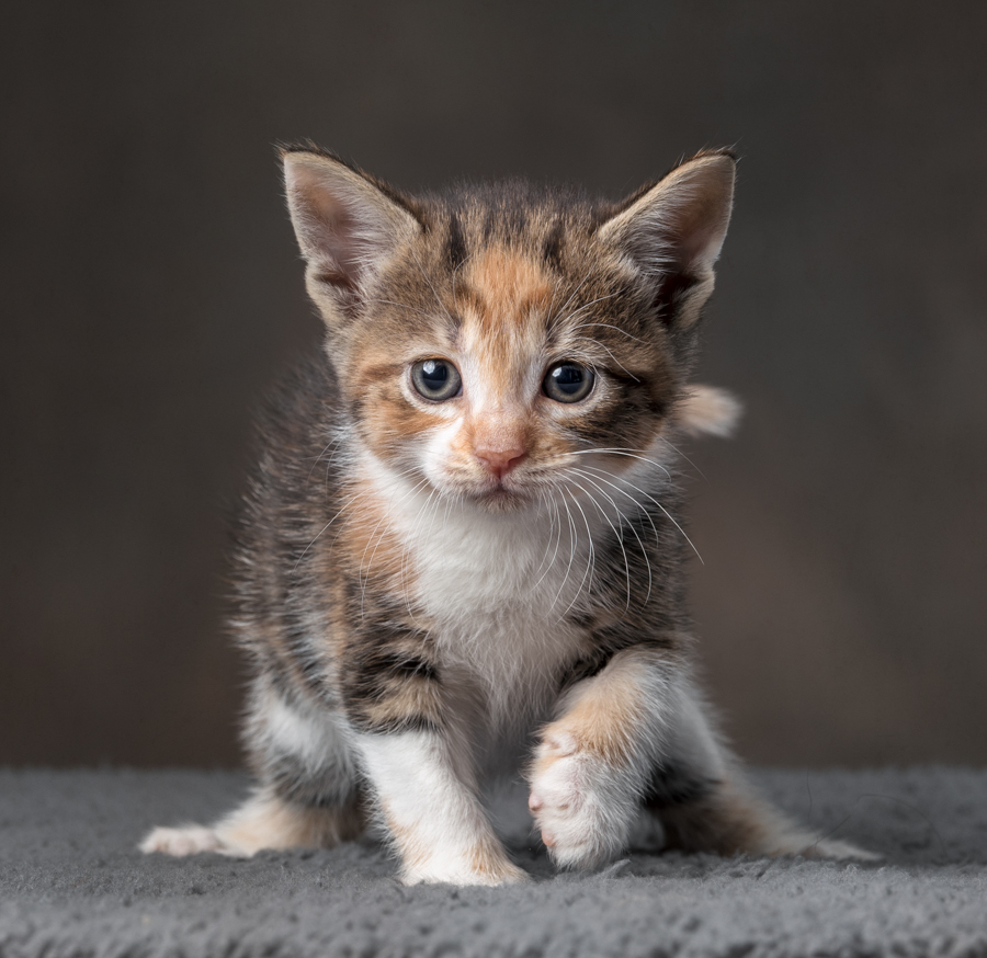 calico-kitten-studio