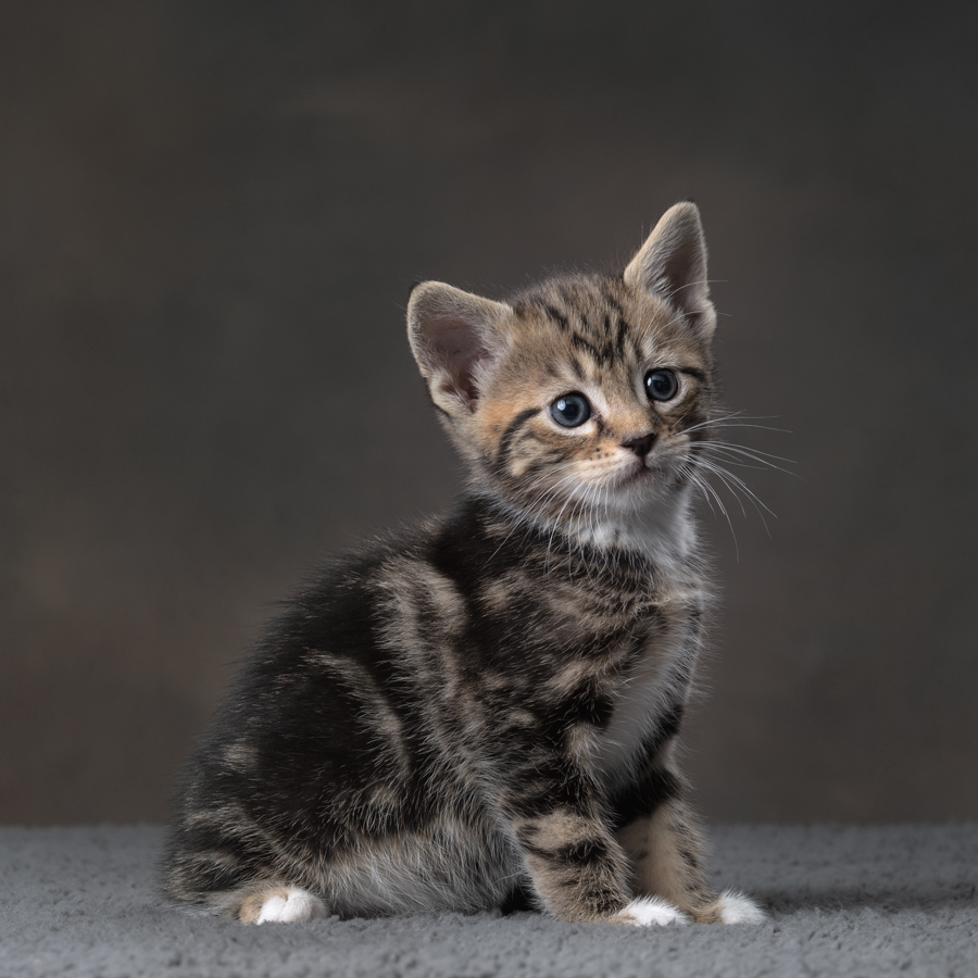 grey-tabby-kitten-studio