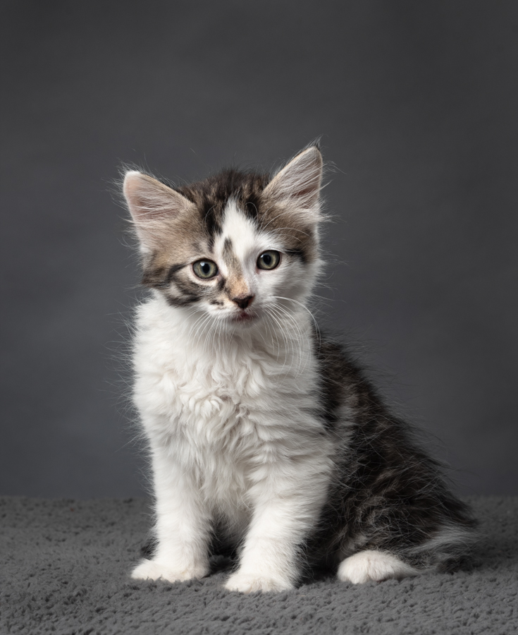 studio-kitten-photographer-grey-tabby