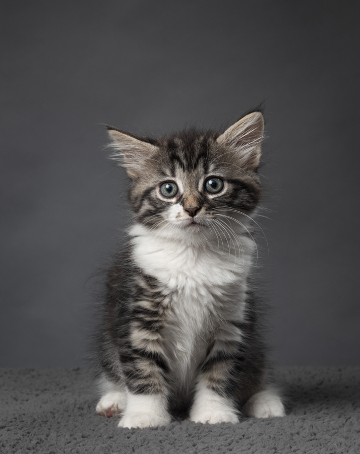 grey-white-tabby-kitten-studio-photo