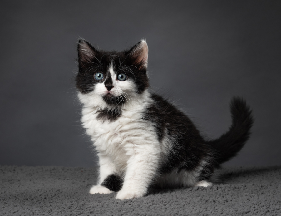 black-white-studio-kitten-picture
