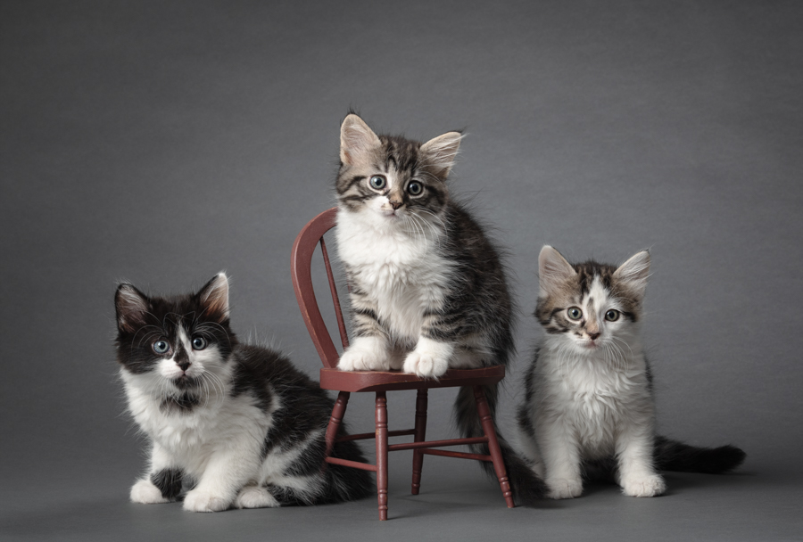 professional-studio-animal-photographer-three-kittens