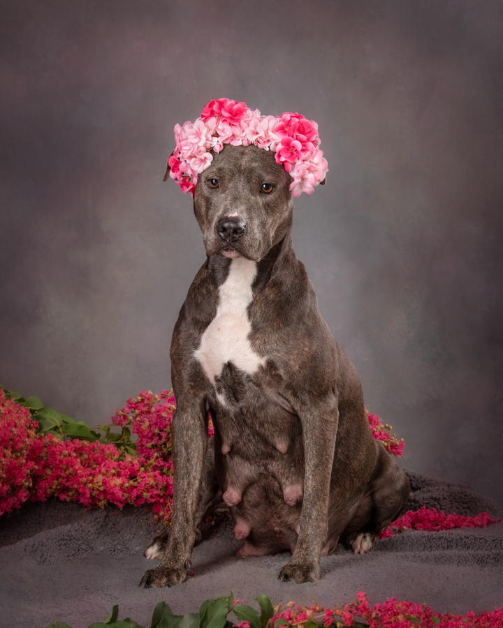 pregnant-dog-maternity-photo-session