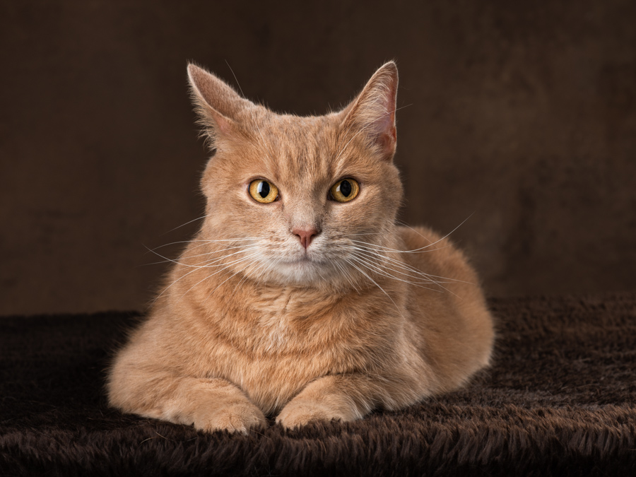 studio-photo-orange-cat