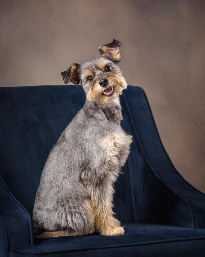 yorkie schnauzer dog studio portrait