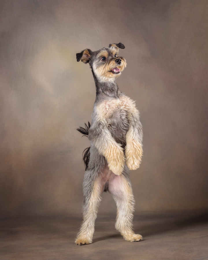 yorkie schnauzer dog dancing in portrait studio