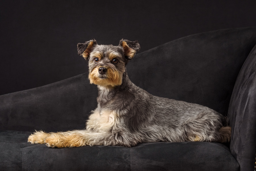schnauzer yorkie on black couch