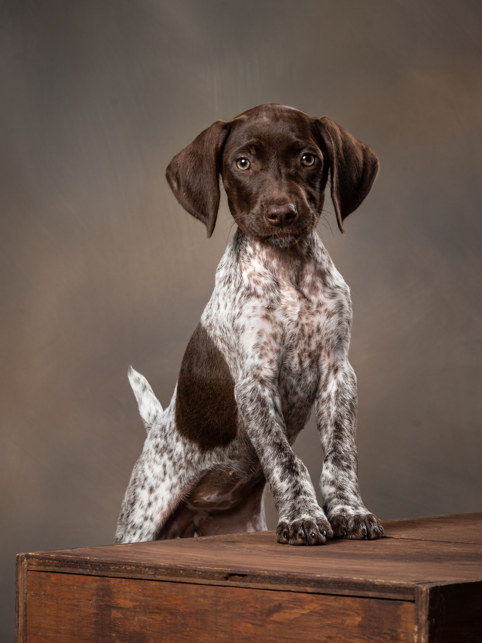 German Shorthaired Pointer puppy in studio