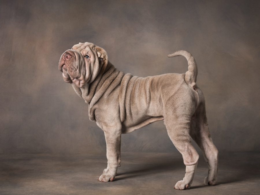dog photography studio shar pei