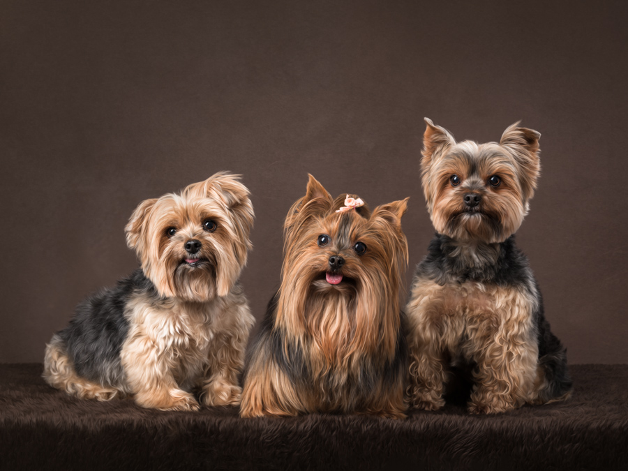 studio portrait three yorkies