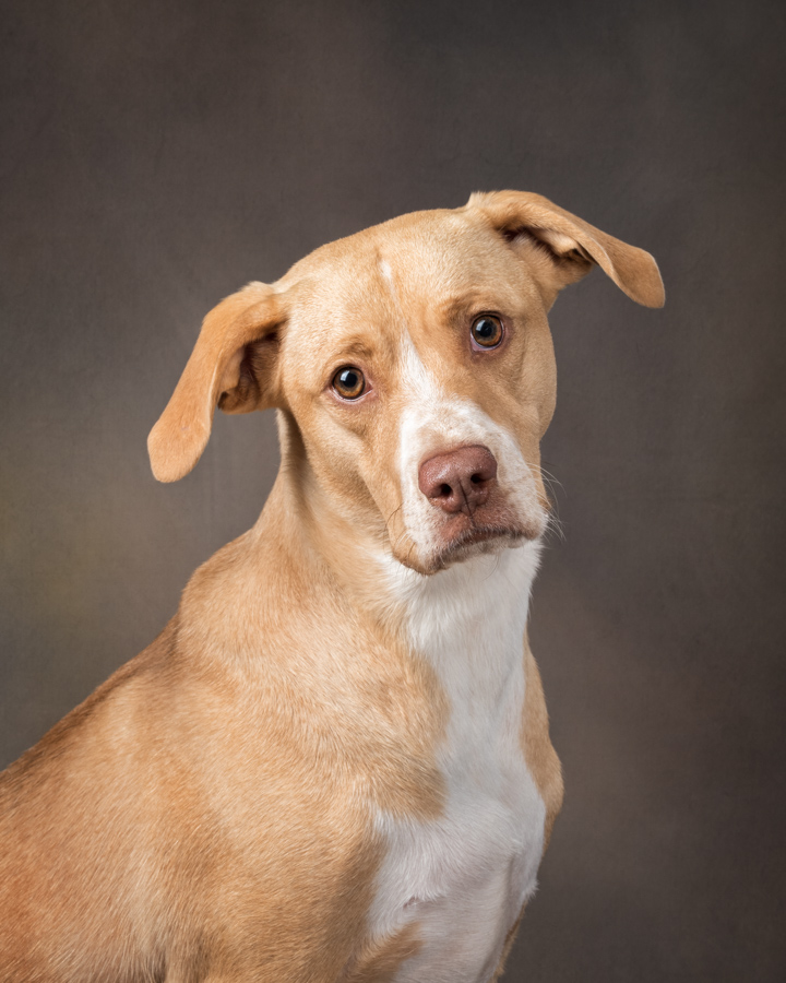 rescue-dog-photography-virginia-pitbull-lab-3548.jpg