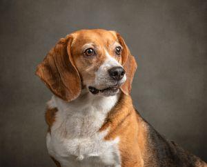 va-dog-photographer-beagle-studio-pet-photography-3946-c47.jpg