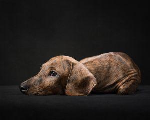 va-pet-photographer-dacshund-puppy-studio-dog-photography-4581-c25.jpg