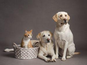 va-pet-photographer-labrador-cat-studio-pet-photography-0127-c76.jpg
