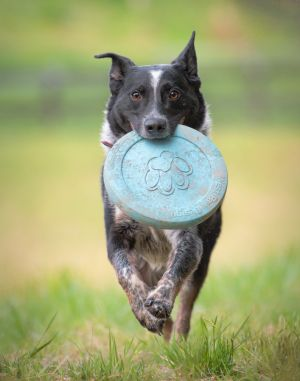dc-pet-photographer-outdoor-cattle-dog-frisbee-4006.jpg