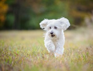 fairfax-virginia-pet-photography-outdoor-dog-running-2213.jpg