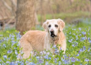 va-dog-photographer-outdoor-pet-photography-bluebells-0522-c65.jpg