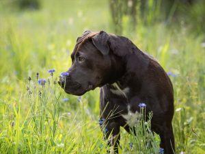 va-dog-photographer-outdoor-pitbull-flower-8732.jpg
