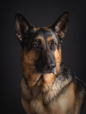 dc-german-shepherd-dog-gsd-black-studio-photographer-5140.jpg