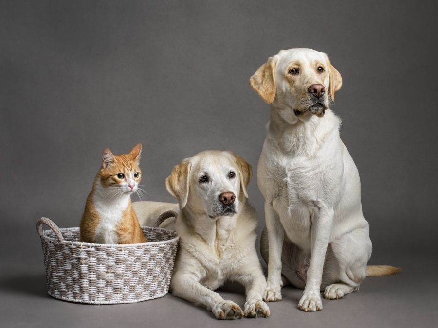 northern-virginia-pet-photography-labrador-cat-studio-0127.jpg
